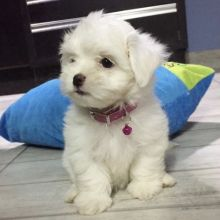 Healthy Male and Female Maltese puppie