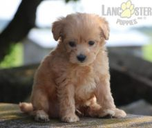 ❤️❤️ Maltipoo Puppies ❤️❤️ Girl & Boy ❤️ ❤️