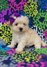 12 weeks old Maltipoo Pups *Trained*