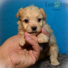 Beautiful Maltipoo puppies for adoption~non shedding