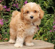 Only 2 available! Maltipoo pups! **Vaccinated**