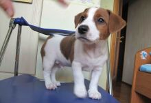 Jack Russell Terrier Puppies,2 pups left.