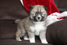 Pomsky Puppies,2 pups left.