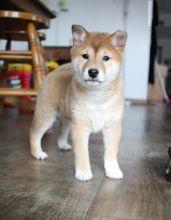 Shiba Inu Puppies,2 pups left.