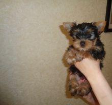 Yorkie Puppies,2 pups left.