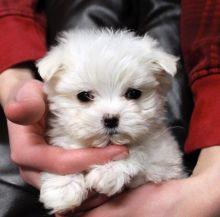 Hypoallergenic Maltese puppies