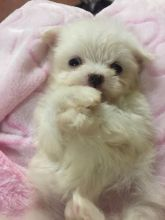 Maltese with excellent pedigree