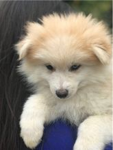 Cute Male and Female Pomsky puppies