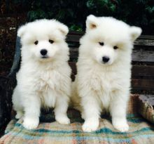 Adorable Samoyed Puppies
