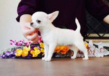 KC Registered Chihuahua Puppies