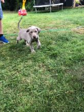 Kc Registered Weimaraner Puppy