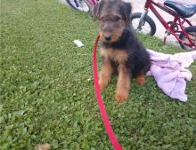 Cute Airedale Terrier Puppies