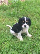 Stunning Kc Registered Cavalier King Charles Spaniel Puppies