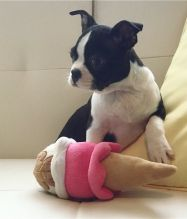 Two Boston terrier puppies available