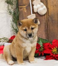 C.K.C MALE AND FEMALE SHIBA INU PUPPIES AVAILABLE