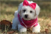 male and female home raise Bichon Frise puppies,