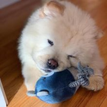 Very Playful Chow Chow Puppies For you