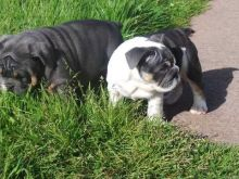 Ckc English Bulldog Puppies For Re-Homing