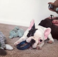 Cute French Bulldog Puppies for Re-homing