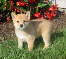Quality Shiba Inu Puppies Available Image eClassifieds4u 1