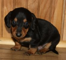 Standard Dachshund male and Female puppies