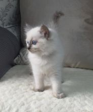 Excellence Intelligent And Lovely Ragdoll Kittens For Adoption.