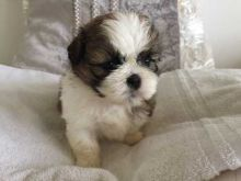 Ckc Registered Shih Tzu Puppies For Re-Homing