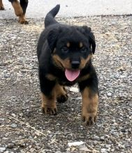 Fantastic Male Female Rottweiler Puppies Now Ready For Adoption