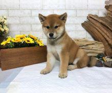 Gorgeous Shiba Inu Puppies For Adoption