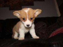 Lovely cute Pembroke Welsh Corgi puppies for adoption