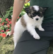 Lovely Cute Papillon Puppies For Adoption