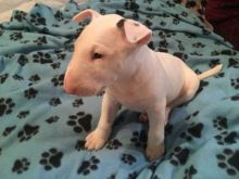 Outstanding English Bull Terrier Puppies Ready For Adoption