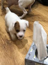 Remarkable Jack Russell Terrier Puppies Available