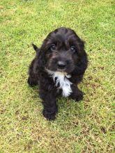 Temperate Cavapoo Puppies For Adoption