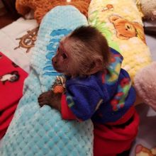 get perfect childlike pet white faced capuchin monkey for xmas text (567) 333-7079