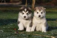 Alaskan Malamute Puppies for adoption. Call or text @(431) 803-0444