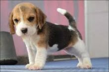 Beagle puppies for adoption. Call or text @(431) 803-0444