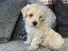 Charistmatic CKC Reg Maltipoo Puppies For Adoption