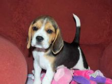 MALE AND FEMALE BEAGLE PUPPIES AVAILABLE