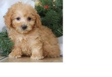 Pure bred Toy Poodle Puppies. Call or text @(431) 803-0444