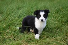 Temperate Border Collie Puppies For Adoption