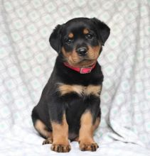 Gorgeous Rottweiler puppies Available .