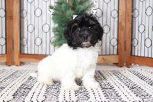 Stunning Pure Bred Havanese Puppies! Ckc Registered