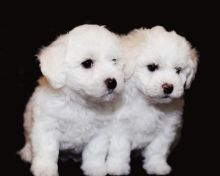 Bichon Frise Beautiful Puppies For Adoption