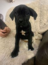 Cane Corso Puppies Fully Vaccinated For Rehoming