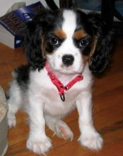 Cavalier King Charles Spaniel Puppies for Adoption