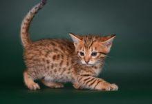 Cute and lovely Savannah kittens