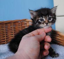 Super adorable Siberian kittens