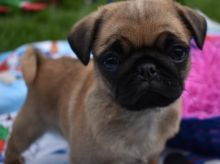 CUTE MALE AND FEMALE PUG PUPPIES