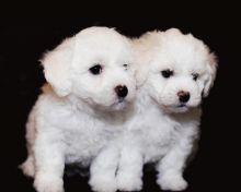 Bichon Frise Beautiful Puppies For Adoption